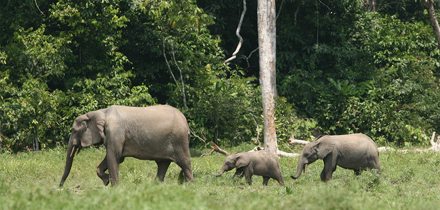 Forest elephant family group in a rainforest clearing; Credit Richard Ruggiero USFWS