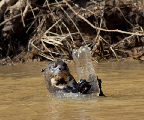 Wild giant otter plays with plastic bottle in the Pantanal.