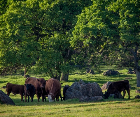Rocks and cows, by Bob White, licensed under CC BY-NC-SA 2.0.